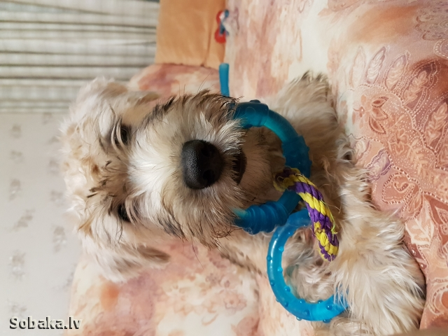 IRISH SOFT COATED WHEATEN TERRIER => THE DOG  