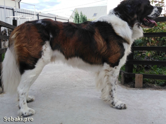 MOSCOW WATCHDOG => THE DOG  