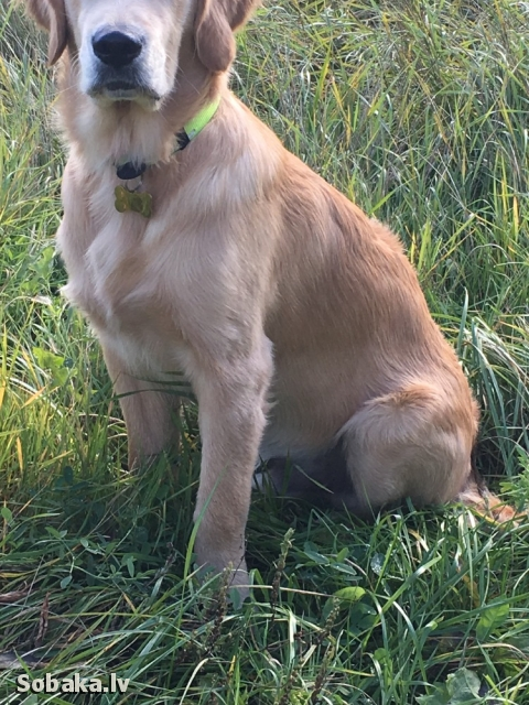 Golden Retriever 109821.jpg