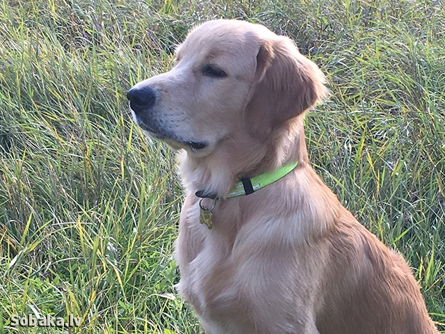Golden Retriever 109822.jpg