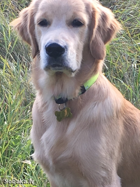 Golden Retriever 109823.jpg