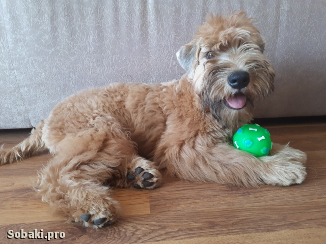Irish Soft Coated Wheaten Terrier 109881.jpg