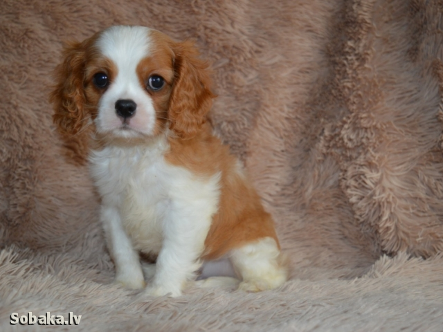 CAVALIER KING CHARLES SPANIEL => PHOTOS  