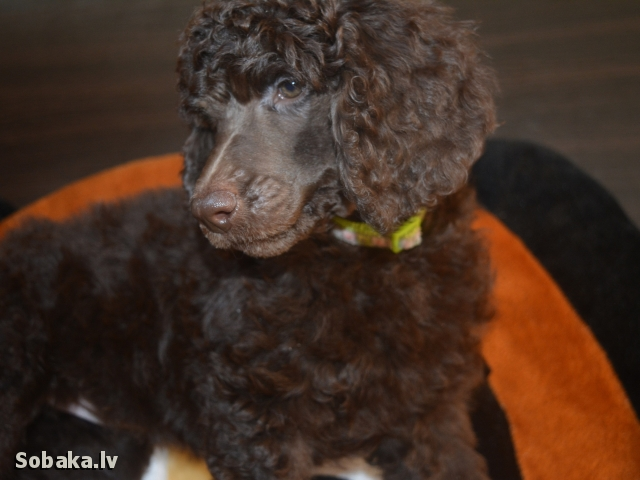 POODLE => PHOTOS  