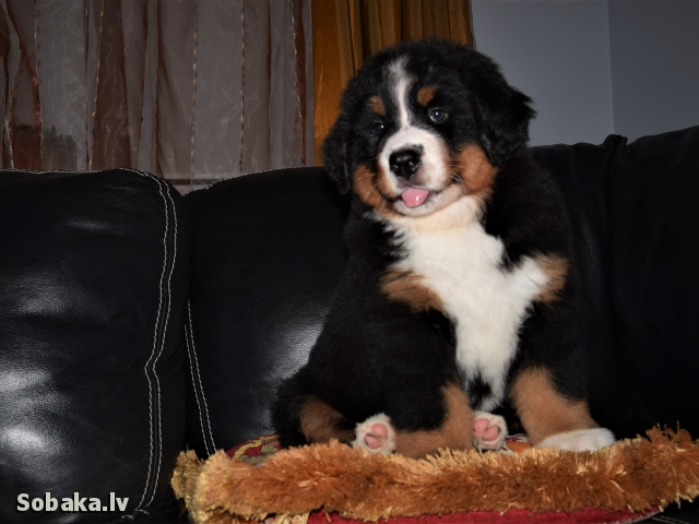 BERNESE MOUNTAIN DOG => PHOTOS  