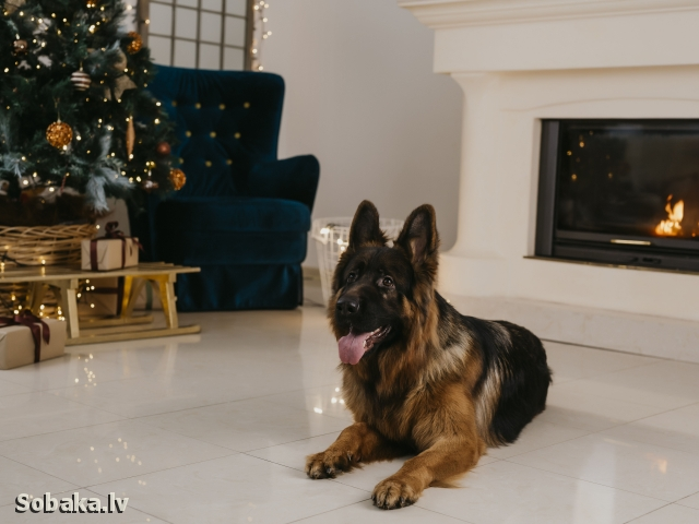 GERMAN SHEPHERD DOG => THE DOG  