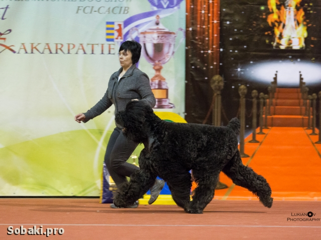 BLACK RUSSIAN TERRIER => THE DOG  