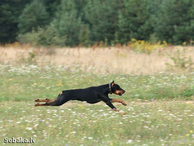 German Pinscher 110322.jpg
