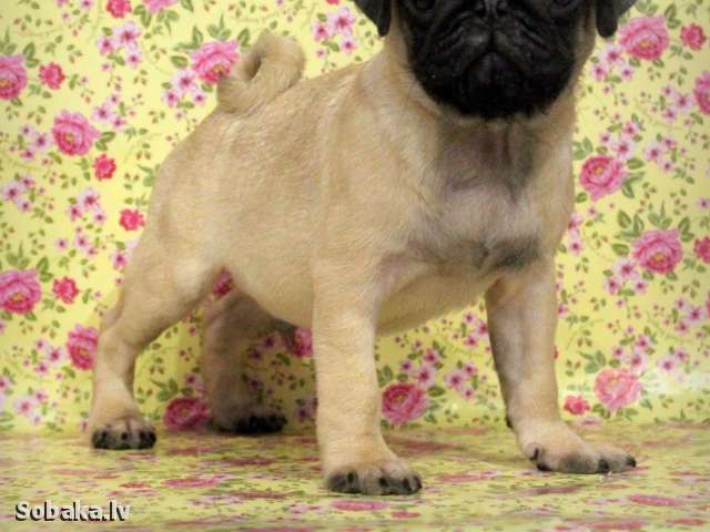 PUG => THE DOG  
