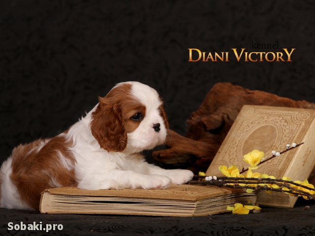 CAVALIER KING CHARLES SPANIEL => THE DOG  