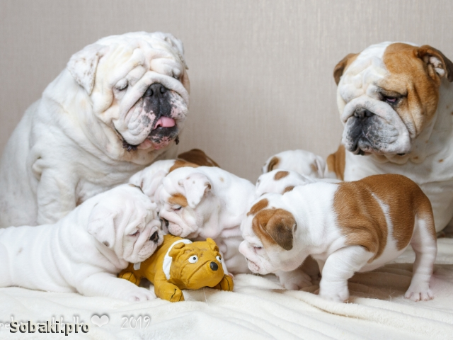 ENGLISH BULLDOG => THE DOG  