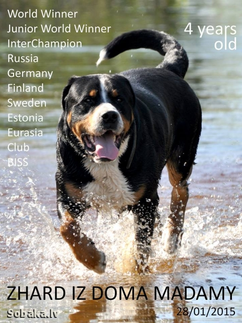 GREAT SWISS MOUNTAIN DOG => PHOTOS  