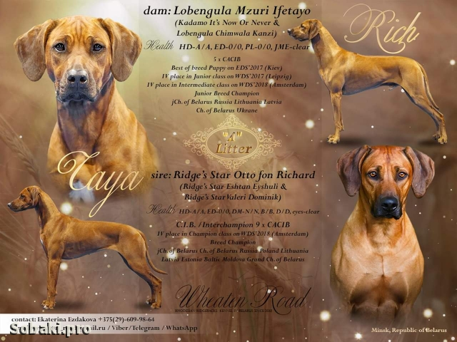 RHODESIAN RIDGEBACK => THE DOG  