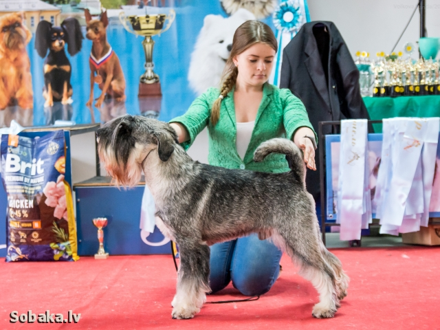 SCHNAUZER => THE DOG  