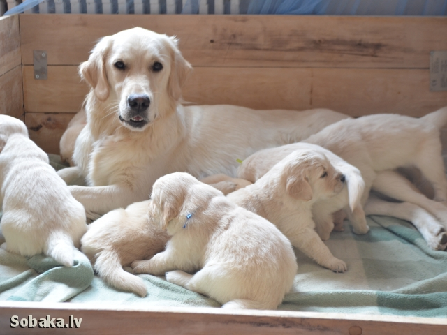 GOLDEN RETRIEVER => PHOTOS  