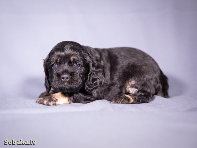 AMERICAN COCKER SPANIEL => PHOTOS  