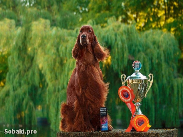 Irish Red Setter 110952.jpg