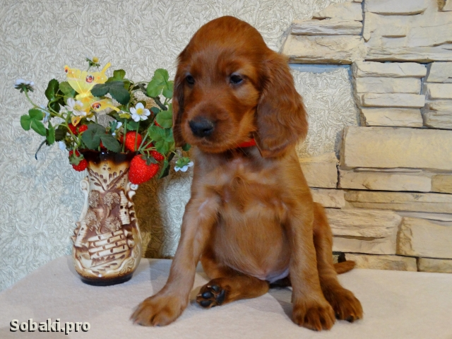Irish Red Setter 110954.jpg