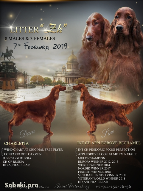 Irish Red Setter 110958.jpg