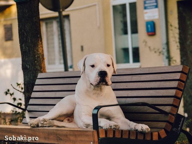 DOGO ARGENTINO => THE DOG  