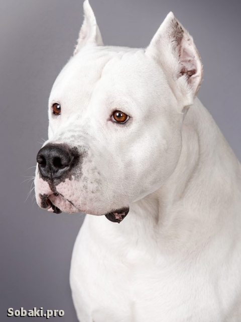 Dogo Argentino 