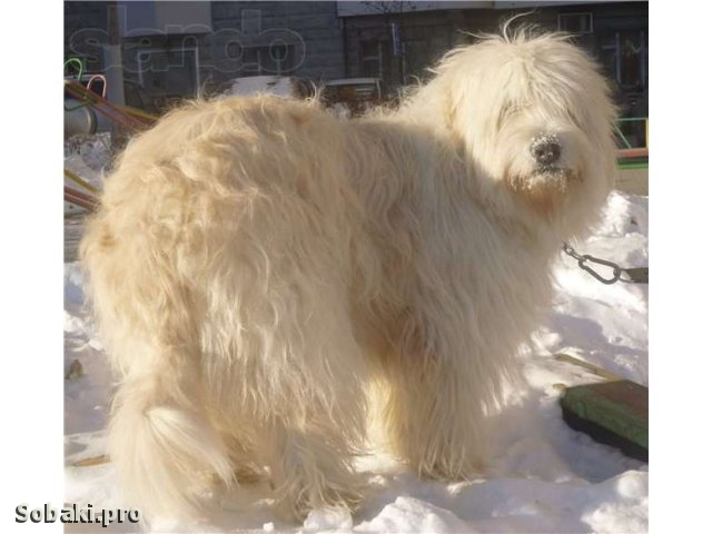 South Russian Shepherd Dog 111033.jpg
