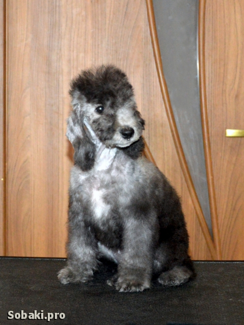Щенок бедлингтона. 