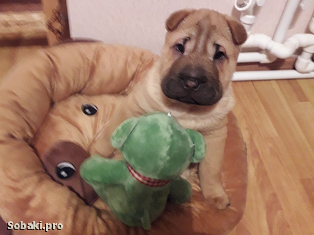 SHAR PEI => THE DOG  