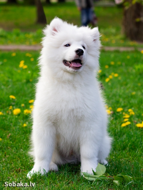 SAMOYED => THE DOG  