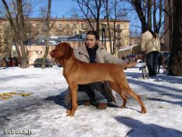 Hungarian Short-haired Pointing Dog Bony-Szolohegyi Tomi