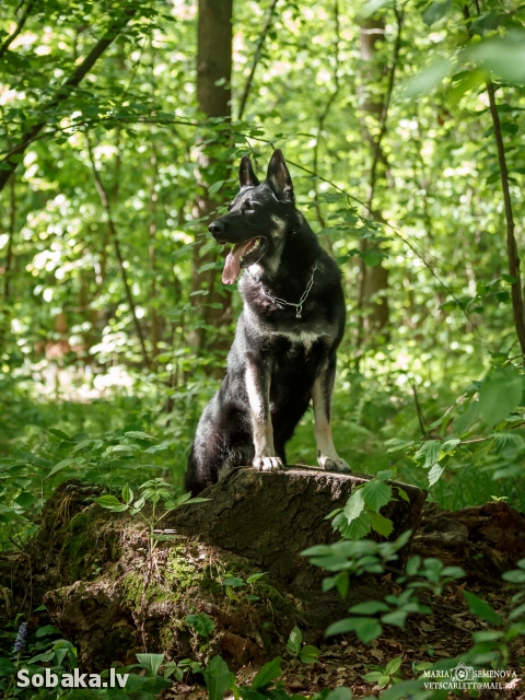East evropean shepherd dog 111313.jpg