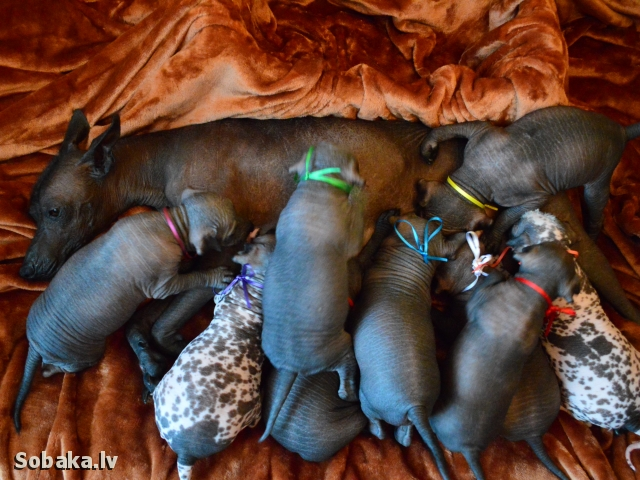 MEXICAN HAIRLESS DOG => PHOTOS  