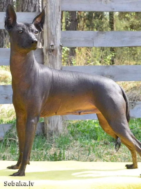Mexican Hairless Dog 111350.jpg