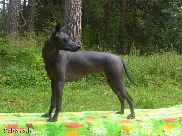 Mexican Hairless Dog 111351.jpg