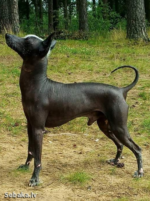 Mexican Hairless Dog 111356.jpg