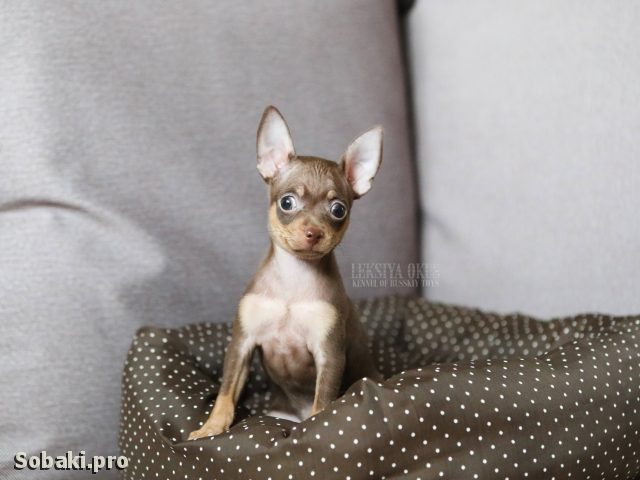 Russian Toy Terrier 111386.jpg
