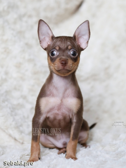 Russian Toy Terrier 111387.jpg