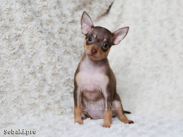 Russian Toy Terrier 111389.jpg