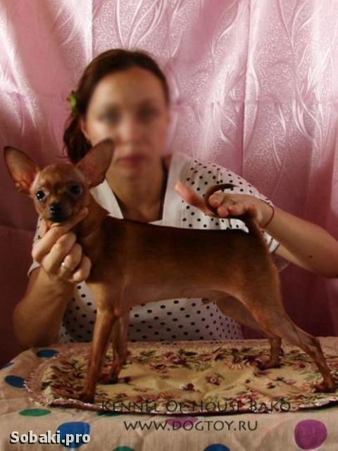 Russian Toy Terrier 111391.jpg