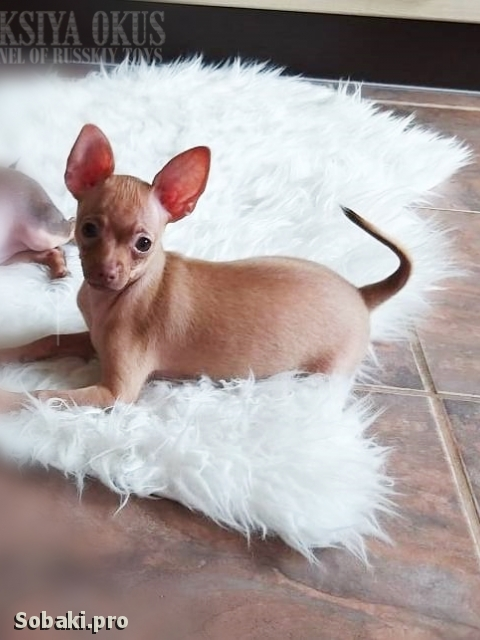 Russian Toy Terrier 111392.jpg