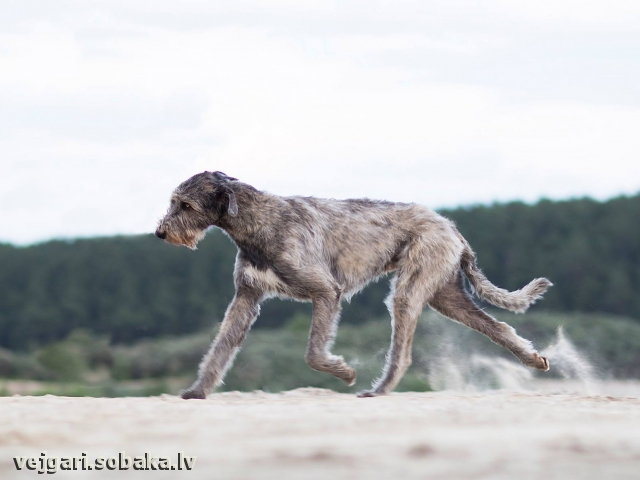 Irish Wolfhound Don Du Rua Idalgo