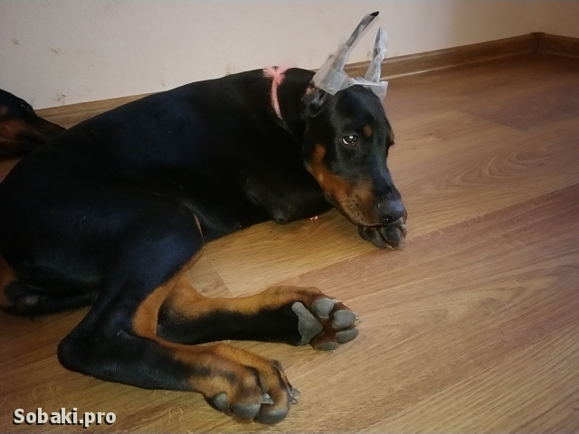 Dobermann 