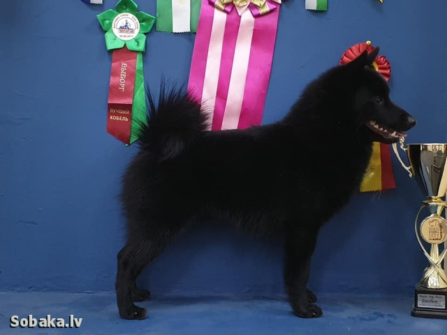 SCHIPPERKE => PHOTOS  