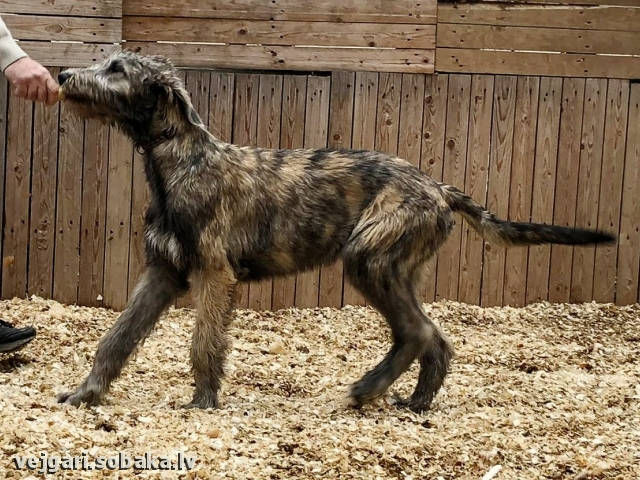 Irish Wolfhound 111777.jpg