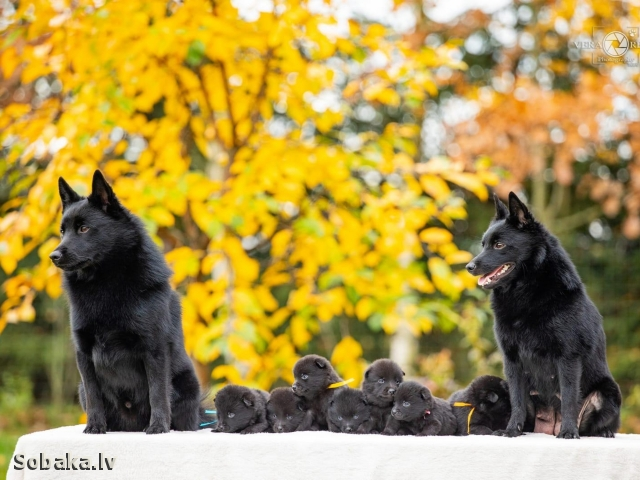 SCHIPPERKE => THE DOG  