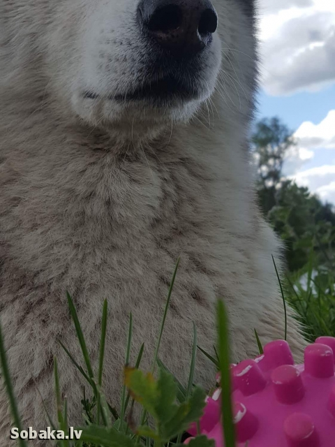 SIBERIAN HUSKY => PHOTOS  