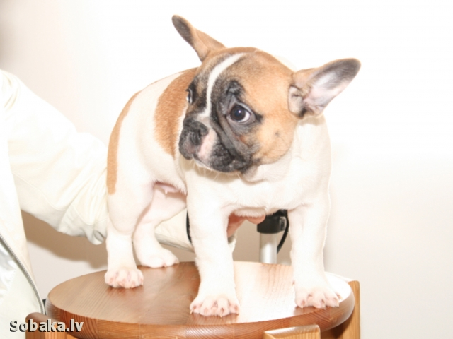 French Bulldog 111907.jpg