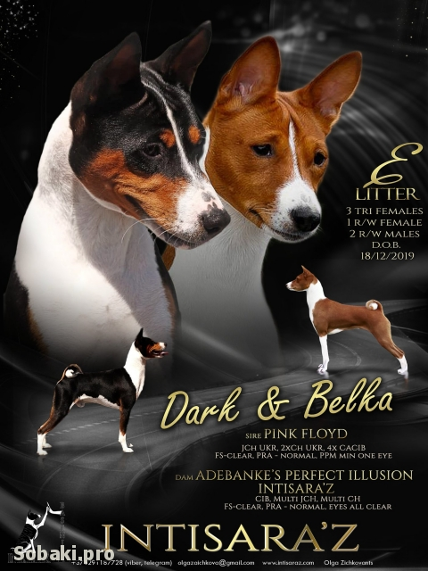 BASENJI => PHOTOS  