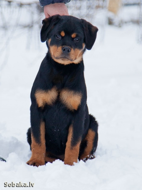 ROTTWEILER => PHOTOS  