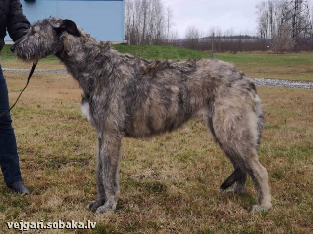 IRISH WOLFHOUND => PHOTOS  